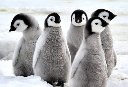 Antartide: censimento dei pinguini grazie ai primi droni italiani a supporto dei ricercatori